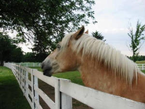A young haflinger near the park entrance